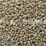 Indian Green Millet Bajra, gujarat quality