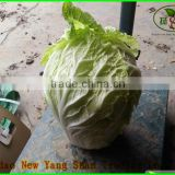 (HOT) Fresh vegetable export South Korea, Singapore/green cabbage