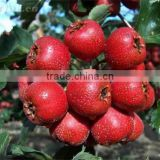 100% High content Fresh Hawthorn Fruit Berry Extract