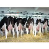 Live Diary Cows and Pregnant Holstein Heifers Cows for Sale