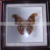 Dried Framed Butterfly