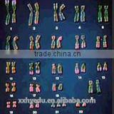 human chromosome Microscope Prepared Slides , Male and Female chromosome Prepared Slide