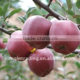 chinese Huaniu apple