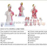 45cm human anatomy torso model