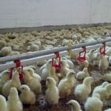 automatic  poultry  drinking system