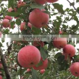 Red Chinese Fresh Fuji apple