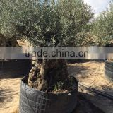 Bonsai Olive tree extra large