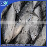 frozen bonito fish for sale factory price, chinese supplier fishery