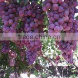 Fresh red golble grape strong quality