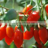 Come Here To Buy Organic Goji Berry Plant Bush Seeds For Growing Nutrition Berries