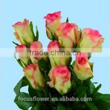Wholesale red flower rose fresh cut roses from ecuador hopeshow with stem 60-80cm long from Yunnan
