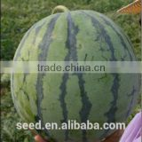 No.43 Hybrid high quality high suger content watermelon seed