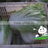 Chinese round Cabbage