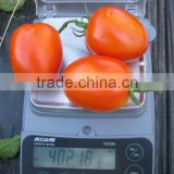 Inquiry About Marina F1 (PELLETED) Hybrid Tomato Seeds
