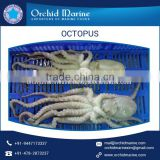 Huge Quantity of Frozen Octopus Available in Different Sizes