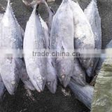 Whole Round 1000g up Frozen Belted Bonito Sarda Orientalis Tuna Fish