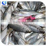 Fish Product Type And Block Shape Fresh Frozen Mackerel Fish