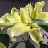 Cut Fresh Yellow King bright yellow lilies