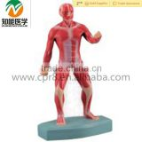 Human Anatomical whole body muscle Sport Move medical and training model