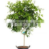 Lemon tree - Citrus limon