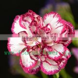 High Quality And Grade Happy Valentine Red Carnation Wholesale Preserved Roses Cut Flower