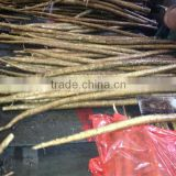 fresh China burdock