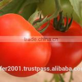 Tomato and Cherry seeds - High yield high quality high resistant tasty seeds for planting