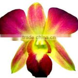 D-010 : DENDROBIUM DYED COLOR ORANGE ORCHID
