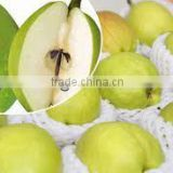 Delicious Fragrance Korla Pear in stock for sale