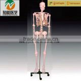 Anatomy Science Human skeleton Model