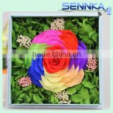 High Quality 10cm Ecuador Rainbow Rose with hydrangea for Preserved flower Velvet Gift Box from yunnan