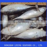 Hot Sell Frozen Bonito Tuna Fish