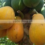 Sale High germination Chaenomeles sinensis seeds papaya seeds fruit tree seeds for planting