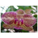 Brother & Sister Nersery of Beautiful Orchid Phalaenopsis Flask seedling