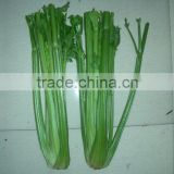 2011good quality & shouguang fresh celery