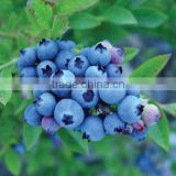 blue berry juice Flavour for e juice liquid flavour for electronic cigarette liquid add in PG, VG