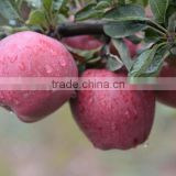 Sweet and juicy taste red delicious apple fresh Huaniu apple