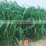 High Grade Sorghum Sudan Grass Seeds Sorghum Hybrid sudan grass Seeds For Cultivartion