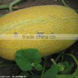 Xing yan oval shape yellow rind hami melon seeds