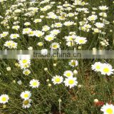 Pyrethrum Extract oil