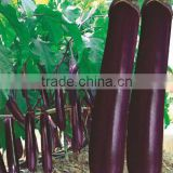 Chinese Vegetable Seeds Hybrid F1 Black Purple Long Eggplant Seeds For Planting-Red Treasure