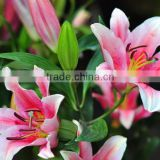 Wholesale export fresh flowers fragrant lily flower for banquet decoration or gift