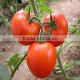 chinese imports wholesale packing bag 1000seeds/bag vegetable seeds tomato seeds in greenhouse