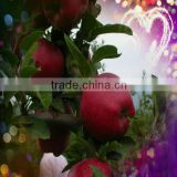 Red delicious huaniu apple fruit