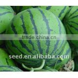 Super Star 2 high yield good resistance hybrid watermelon seeds