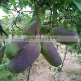 Hot Sale Rare Fruit Tree Seeds For Sale Holboellia latifolia Wall Seeds For Growing