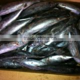 frozen bonito fish 500-700g;
