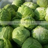 Fresh green cabbage from new crop of 2016 China origin