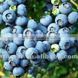 Top quality frozen blueberry