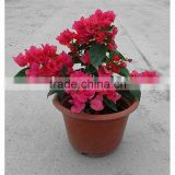 Small size bougainvillea for nursery plant